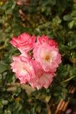 美丽的玫瑰丛在庭院,玫瑰里为情人节 免版税库存照片