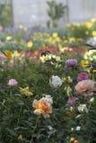 美丽的玫瑰充分的框架在许多颜色的 库存图片