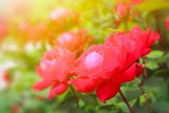 美丽的玫瑰园 库存照片