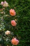 美丽的玫瑰在庭院里 免版税库存照片