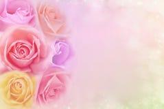 美丽的玫瑰在软的滤色器、背景华伦泰的或喜帖开花 库存图片