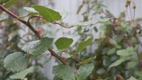 美丽的玫瑰的布什在庭院里 常平架 影视素材