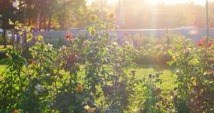 美丽的玫瑰的布什在庭院选择聚焦,由后照的射击 股票录像