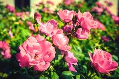 美丽的玫瑰的布什在庭院里 库存照片
