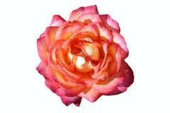美丽的玫瑰空白黄色 库存图片