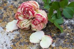 美丽的玫瑰色比埃尔・德・龙沙在地面上凋枯 图库摄影
