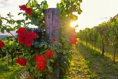 美丽的玫瑰色花和葡萄园Vipava谷的,斯洛文尼亚 库存照片