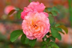 美丽的玫瑰色花在庭院里 免版税库存照片