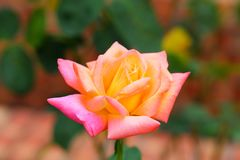 美丽的玫瑰色花在庭院里 库存图片