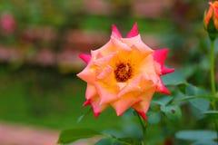美丽的玫瑰色花在庭院里 库存照片