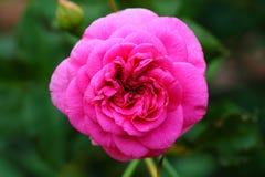 美丽的玫瑰色花在庭院里 图库摄影