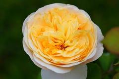 美丽的玫瑰色花在庭院里 免版税库存图片