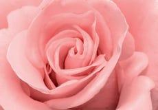 美丽的玫瑰色花精美浅粉红色的颜色特写镜头 图库摄影