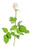 美丽的玫瑰色花04 免版税图库摄影