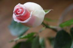 美丽的玫瑰色芽 免版税库存照片