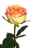 美丽的玫瑰色茶 免版税库存照片
