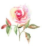 美丽的玫瑰花 库存图片