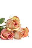 美丽的玫瑰 免版税库存照片