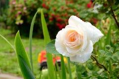 美丽的玫瑰 库存图片