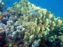 美丽的珊瑚红色礁石海运 免版税图库摄影
