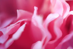 美丽的瓣庭院牡丹桃红色花卉背景  免版税库存图片
