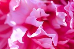 美丽的瓣庭院牡丹桃红色花卉背景  免版税库存照片