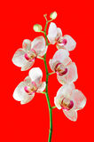 美丽的生动的桃红色和紫色兰花花 库存图片