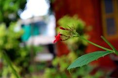 美丽的生长小红色花 库存图片