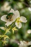 美丽的甲虫Cetonia aurata 图库摄影