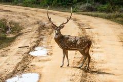 美丽的男性察觉了站立在路的鹿 免版税库存照片