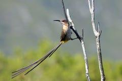 美丽的男性纵向sugarbird 免版税库存照片