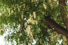 美丽的白天蝴蝶从树花收集和喝花蜜 反对天空蔚蓝的Aglais urticae 绿色叶子和 免版税库存照片