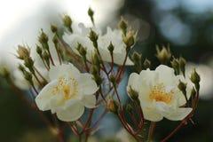 美丽的白玫瑰,白花,罗斯 库存照片