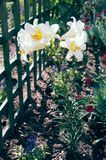 美丽的白百合在庭院里 库存照片