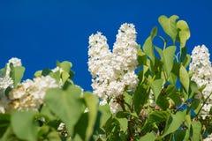 美丽的白色丁香开花在蓝天的开花特写镜头 免版税库存图片