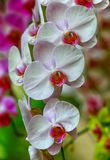 美丽的白色兰花植物兰花 库存照片