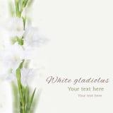 美丽的白色剑兰花 免版税图库摄影