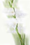 美丽的白色剑兰花 免版税库存图片