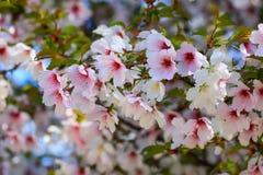 美丽的白色和桃红色樱桃花在一棵树在春天开了花 樱花在庭院,果树,特写镜头里 免版税库存照片