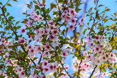 美丽的白色和桃红色樱桃花在树枝开了花 樱花,果树 库存照片