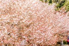 美丽的白色和桃红色樱花佐仓风景  库存照片