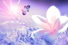 美丽的白色和桃红色热带花和紫色蝴蝶在飞行中在紫色草背景在水滴  Blurre 免版税库存照片