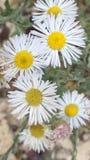 美丽的白色和黄色野花 库存图片