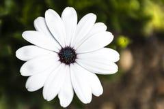 美丽的白色和紫色花在庭院里 库存照片