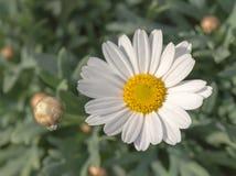 美丽的白色和黄色marguarite花在庭院里 图库摄影