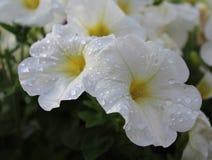 美丽的白色喇叭花 免版税库存照片