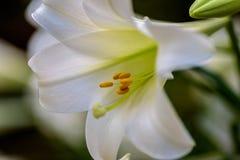美丽的白色复活节百合特写镜头  免版税库存照片