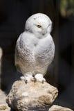 美丽的白色多雪的猫头鹰在岩石栖息,看与intere 免版税库存照片