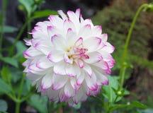 美丽的白色大丽花花在庭院里 免版税库存图片
