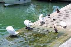 美丽的白色天鹅和鸭子 库存图片